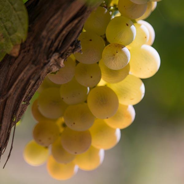Grappe de raisins blancs du domaine viticole Bio, Au 7ème Clos.