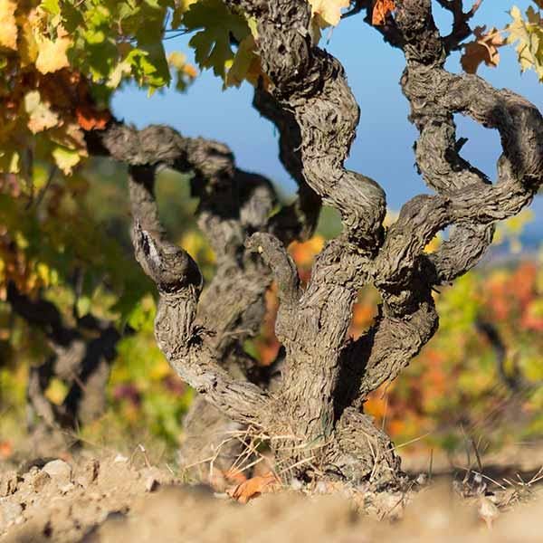 Pied de vigne sur le Domaine viticole biologique Au 7ème Clos à Visan, dans le Vaucluse.