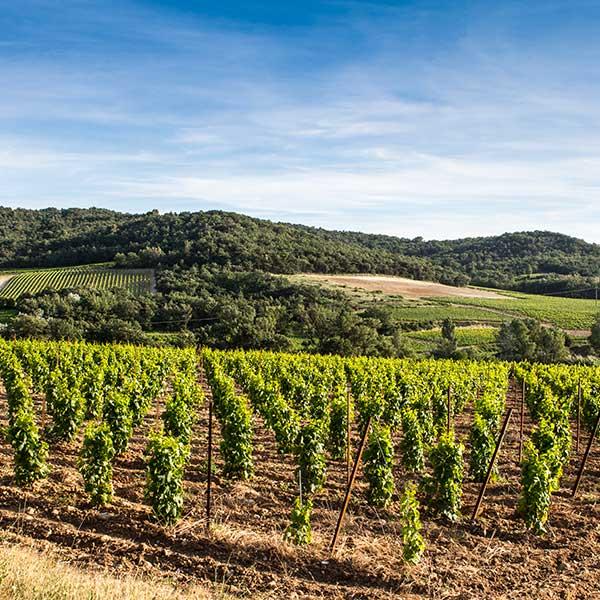 Paysage de vignes non loin de Visan.