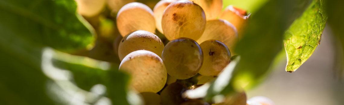 Le domaine viticole biologique Au 7e Clos au ban des vendanges de Visan 2018.