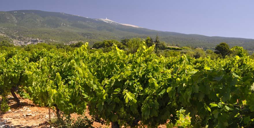 Le Mont Ventoux dans le Vaucluse et ses vignes.