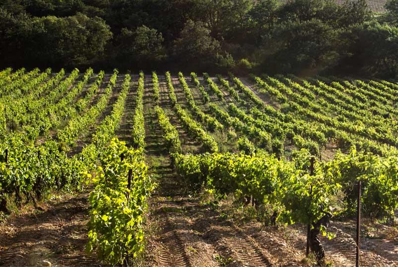 Au 7ème Clos à Visan, champs de vigne du domaine viticole Bio.